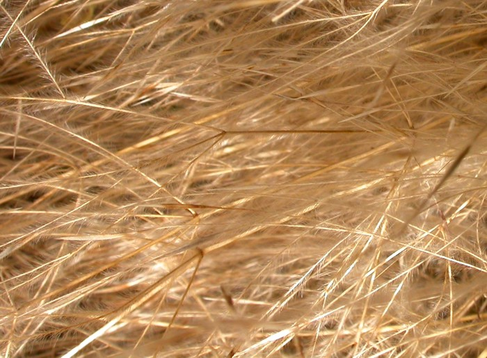 Stipa seed heads