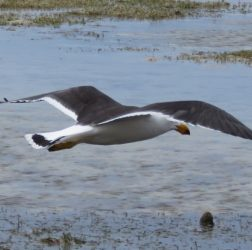 Flying Pacilic Gull