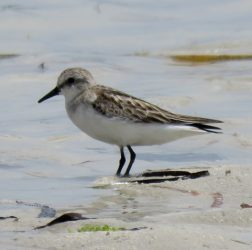 Red-necked stint?