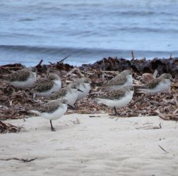 Red-necked stints?