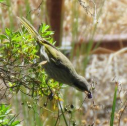 Singing honeyeater eating dianella berries