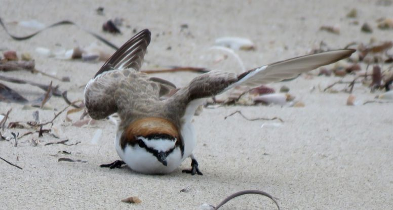 red capped plover broken wing display