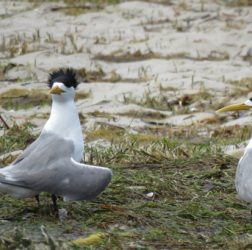 Crested tern?