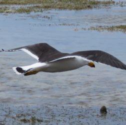Flying Pacilic Gull