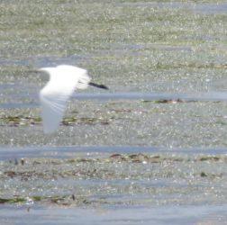 Unknown egret