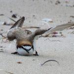 red capped plover broken wing display